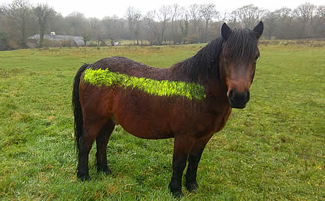 Use of reflective paint on Dartmoor ponies in an attempt to reduce road traffic acccidents