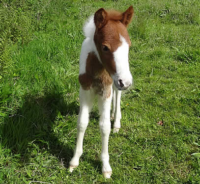 Foal separated from mother rescued and cared for by Dartmoor Livestock Protection Society